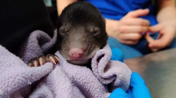 Хозяева не знали, что и делать, когда увидели что их собака принесла в дом… маленького медвежонка!