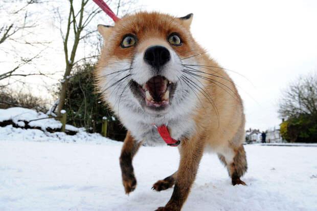 6 милейших фото лисы, которая считает себя собакой