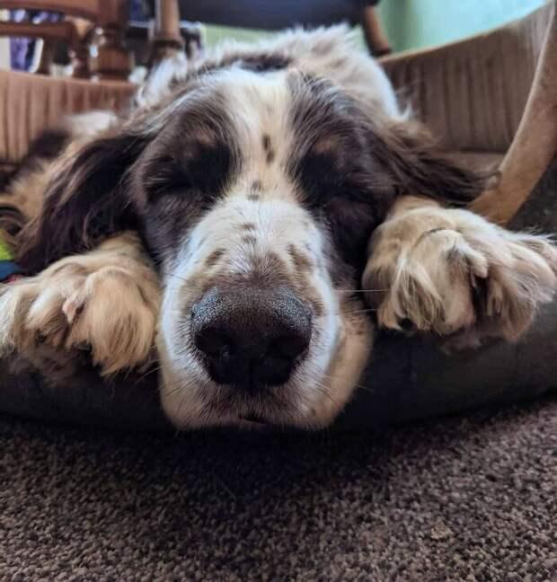 Хозяева по очереди спят на диванчике со старым псом, чтобы ему не было одиноко