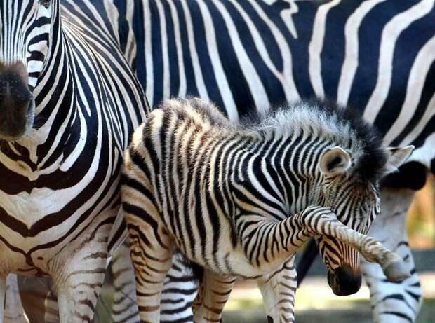 Полосатая лошадка — почему люди не приручили зебру
