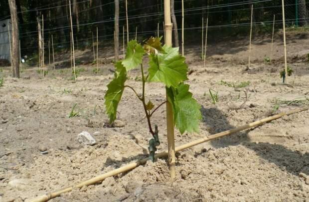 Главные ошибки при посадке винограда