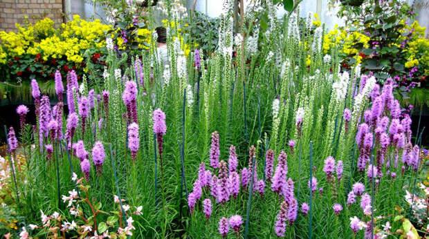 Многолетний садовый цветок Лиатрис (Liatris)