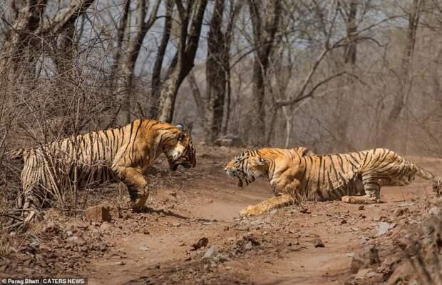 Драматические кадры сражения двух тигриц! Вот это зверюги!