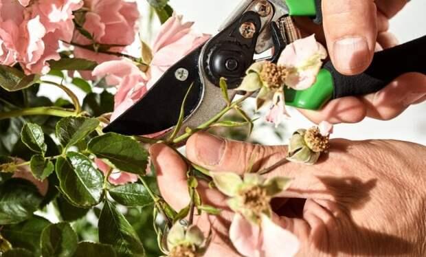 Уход за розами после цветения