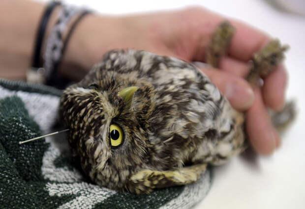Два месяца назад этот маленькая сова повредила спину, когда он залетела в дымоход на заводе в Мадриде