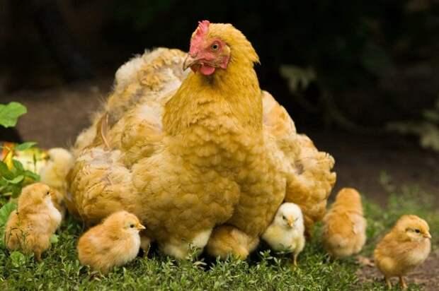 Дачное подворье: 11 фактов, о которых надо знать, прежде чем завести кур