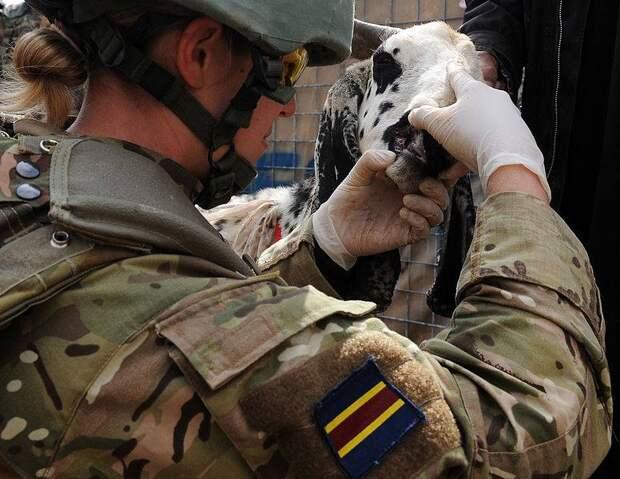 Королевский армейский ветеринарный корпус Великобритании