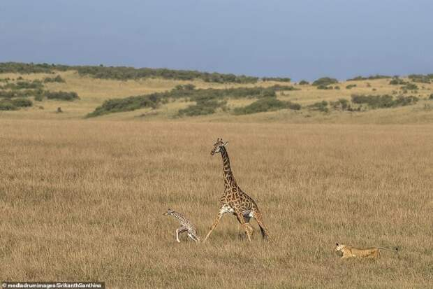 Смертельная схватка: самка жирафа пытается спасти своего малыша от львицы