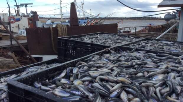 Еще пять компаний начали лов корюшки и гольцов на Сахалине