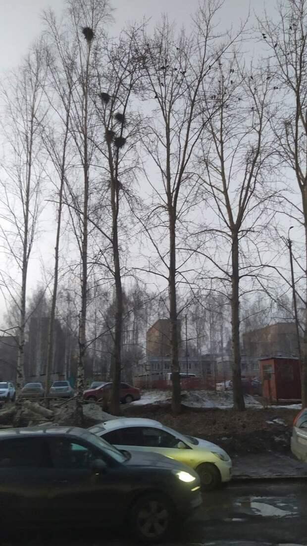 На улице Молодежной в Ижевске приостановили обрезку деревьев после жалоб горожан в защиту птиц