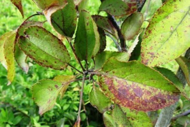 Покраснели листья на сливе: причины