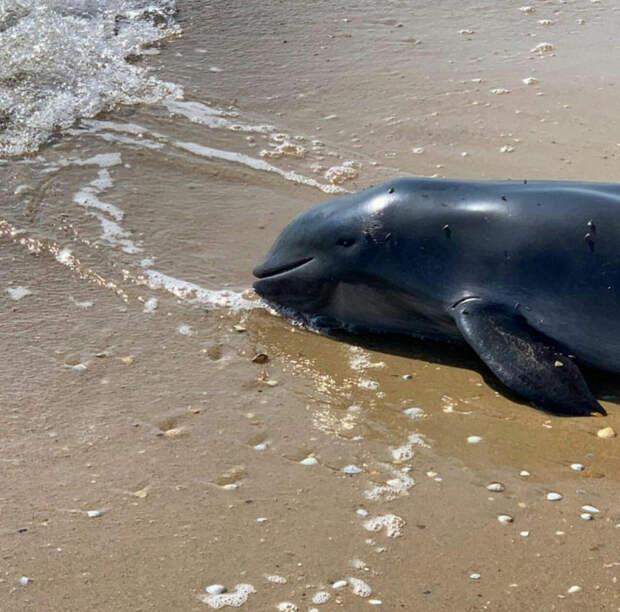 На черноморском побережье Кубани массово гибнут дельфины