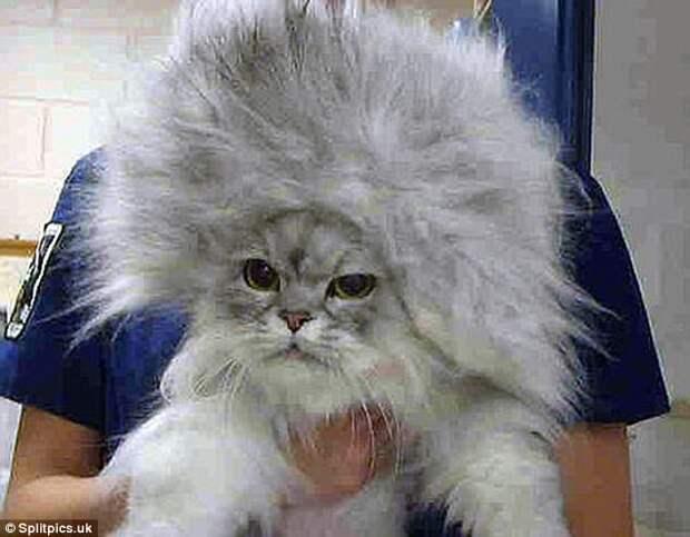 Клочья шерсти и эмоции: подборка сумасшедших кошачьих причесок