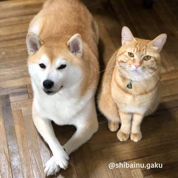 Трогательная дружба кота и собаки умиляет пользователей сети Сиба-ину, бобтейл, дружба, кошка, кошка и собака, собака