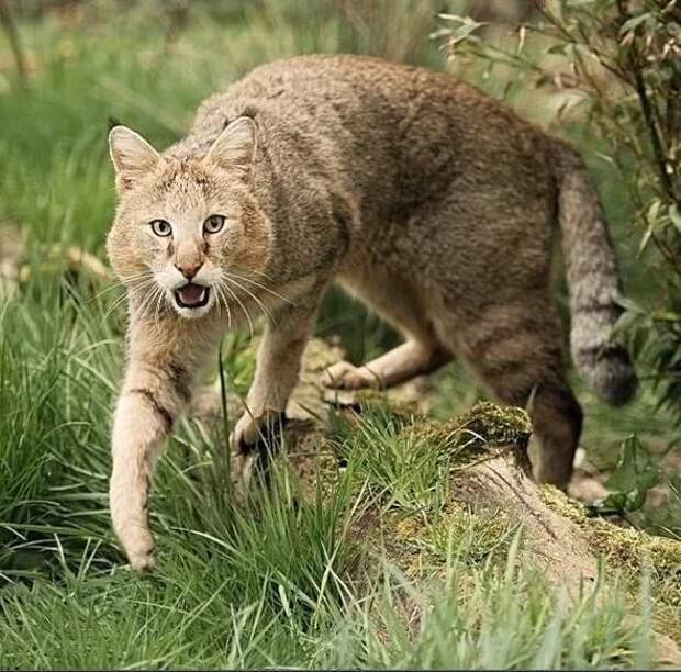 Немногие знают, насколько эмоционален дикий камышовый кот
