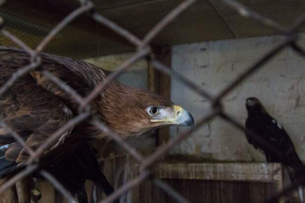Молодой орел даже не пытался взлететь после случившегося с ним императорский орел, орел, птица
