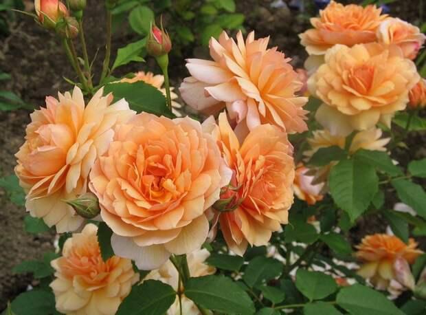 """Саженцы роз из питомника"""" Нью-Джерси"""", Сад, огород, комнатные растения - Саженцы, семена"""