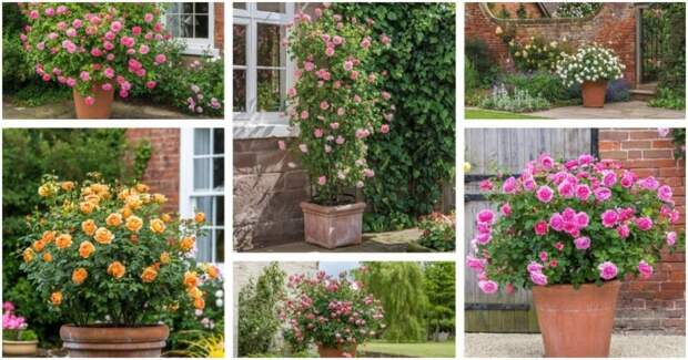 Компактные английские розы для маленьких участков