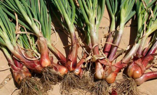 Сажаем лук по четыре луковицы сразу: метод американских фермеров