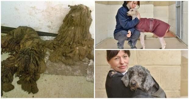 15 страшных шерстяных комков, обретших вторую жизнь животные, комки шерсти, новая жизнь, собаки, страшное, стрижка
