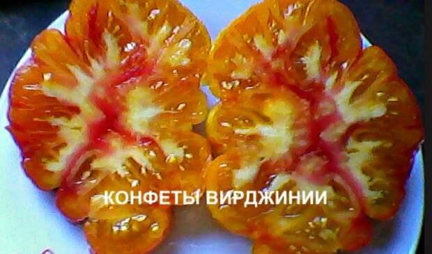 сорт томата сладости вирджинии