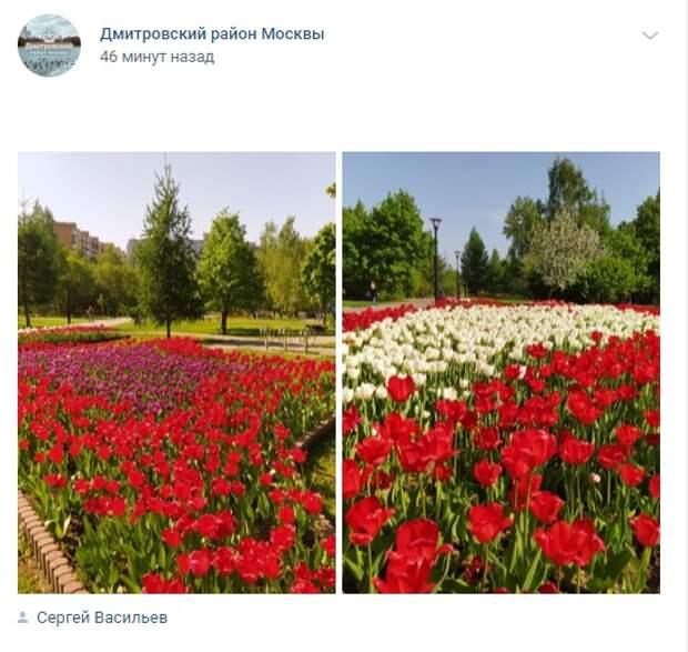 Фото дня: тюльпановый сквер на Карельском бульваре