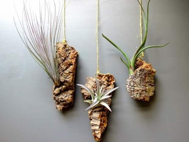 тилландсия как подвесить комнатные растения