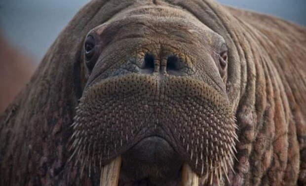 Необъяснимое нашествие моржей на Ямале