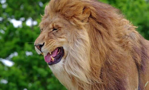 Видео: как мяукают львы, тигры и другие большие кошки