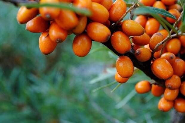 Облепиха – осенняя ягода здоровья: сохраняет витамины даже в обработанном виде