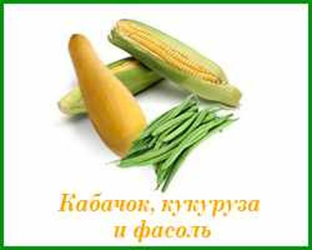 кабачки, кукурузу и фасоль можно сажать вместе
