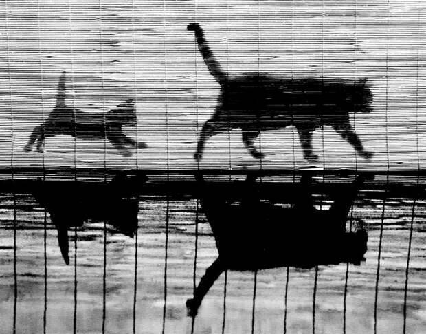 Уолтер Чандоха – человек, который 70 лет фотографировал кошек   7 1