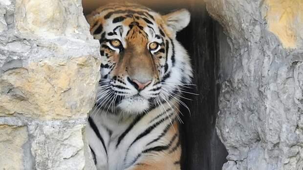 Тигрицу Санду выпустили на волю из реабилитационного центра в Приморском крае