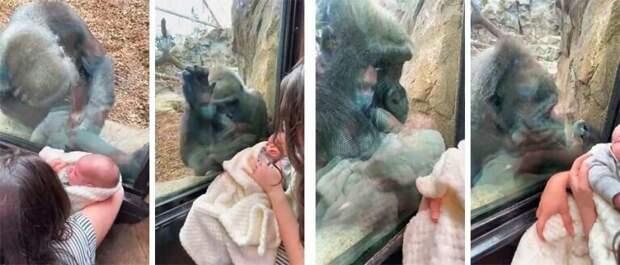 Невероятный момент: горилла очарована человеческим потомством