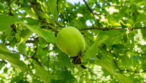 Более 60 га земли в Подмосковье отвели под плодовые и ягодные культуры