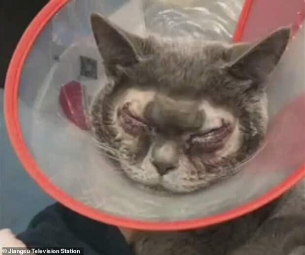 Китаянка потратила $1500 на пластическую операцию для своей кошки