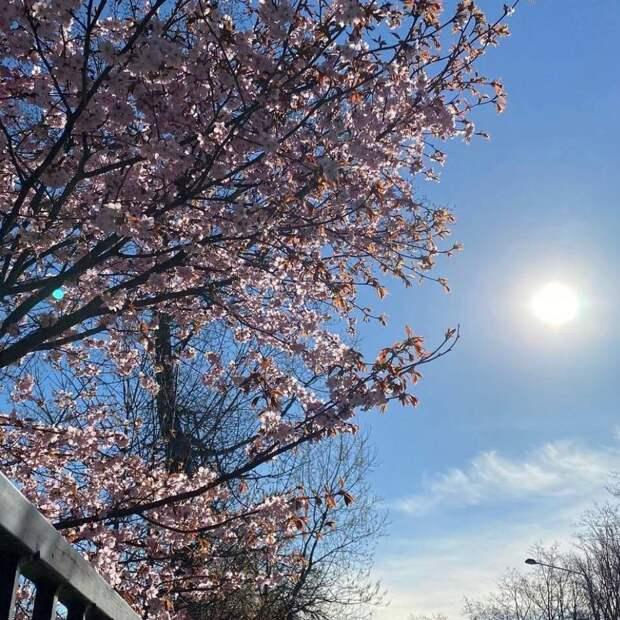Все фотографируют сакуру в саду Дружбы. Где еще полюбоваться цветущими деревьями в Петербурге?