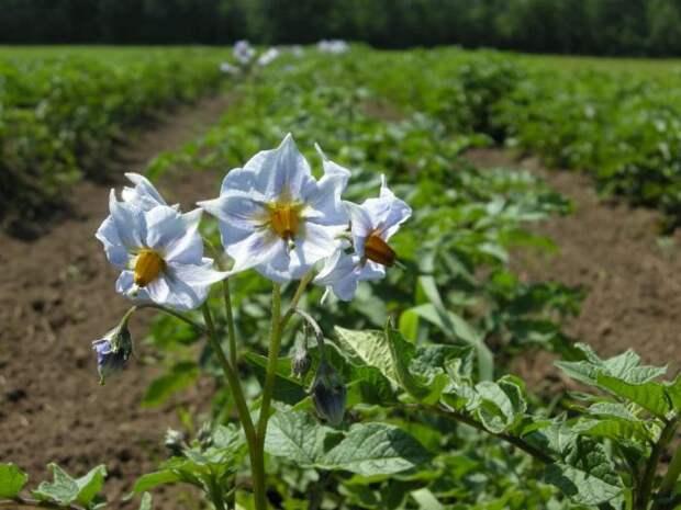 цветы картофеля фото