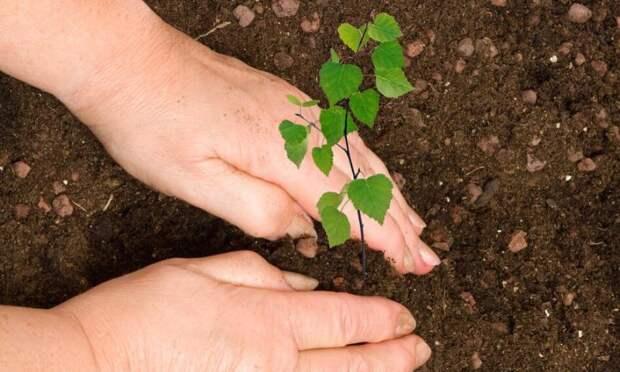 На следующей неделе на Шиесе начнут высаживать деревья