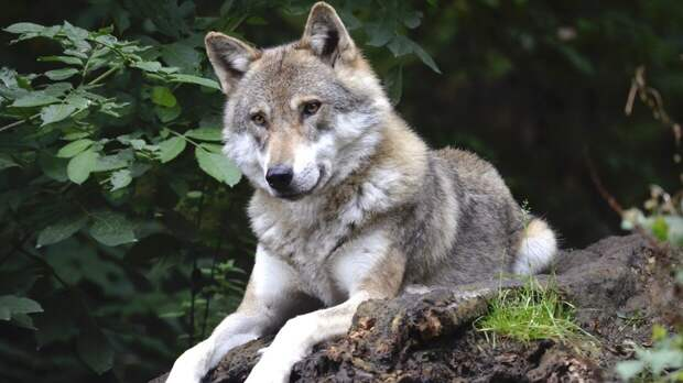 """Ученые """"поймали"""" диких волков на ловле пресноводной рыбы"""