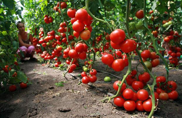 Подкормите помидоры — получите чудо-урожай!