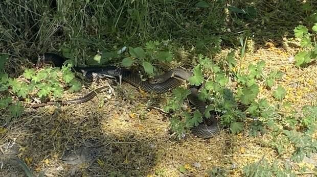 Сезон открыт: в Крыму активизировались змеи