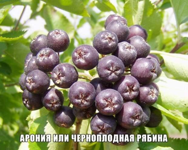 Арония или черноплодная рябина