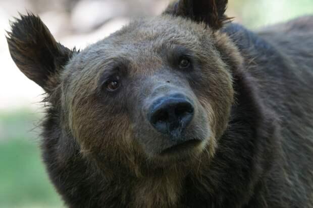 Охотники в Удмуртии застрелили медведя-людоеда