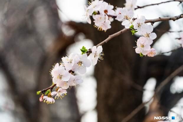 Омская сакура: 6 фотографий цветущего абрикоса у кинотеатра «Маяковский»