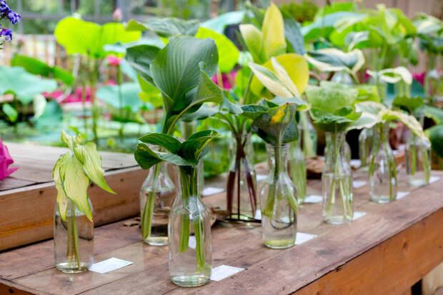 Сколько стоят отростки садовых цветов в Аптекарском Огороде?