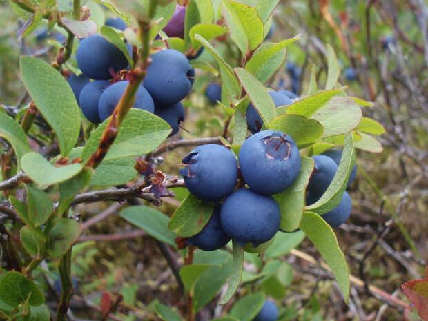 Голубика – целебная лесная ягода