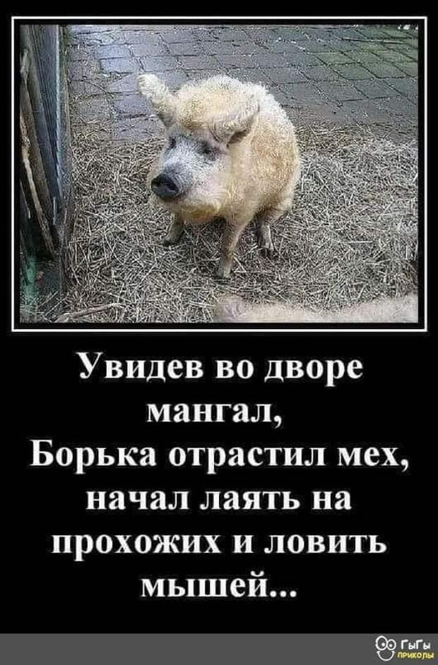 Возможно, это изображение (животное и текст «видев во дворе мангал, борька отрастил мех, начал лаять на прохожих и ловить мышей... ыы прихолы»)