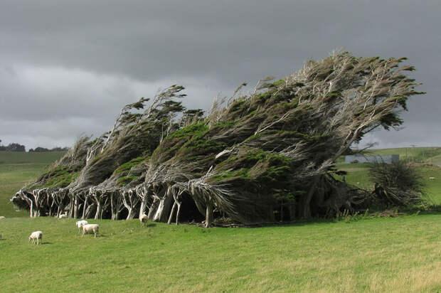 Изогнутые ветром деревья в НЗ