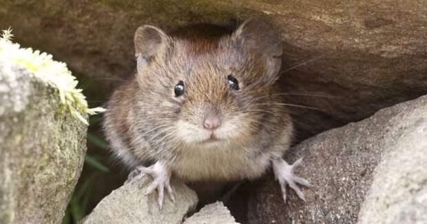 Мышиный катаклизм: Австралию атаковали серые грызуны